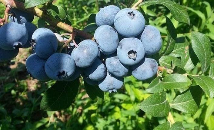 Hopa ve Kemalpaşa'da mavi yemiş için hasat zamanı
