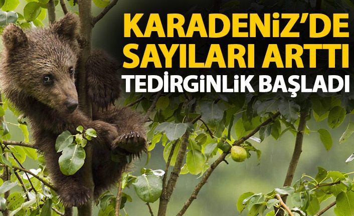 Karadeniz'de popülasyonu artan ayılar korkutuyor