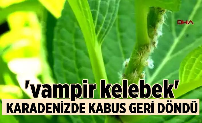 RİZE Karadeniz'de 'vampir kelebek' kabusu geri döndü